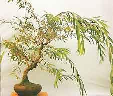 One Live Tree Bonsai Dragon Willow Tree Large Thick Trunk Root Stock Cutting